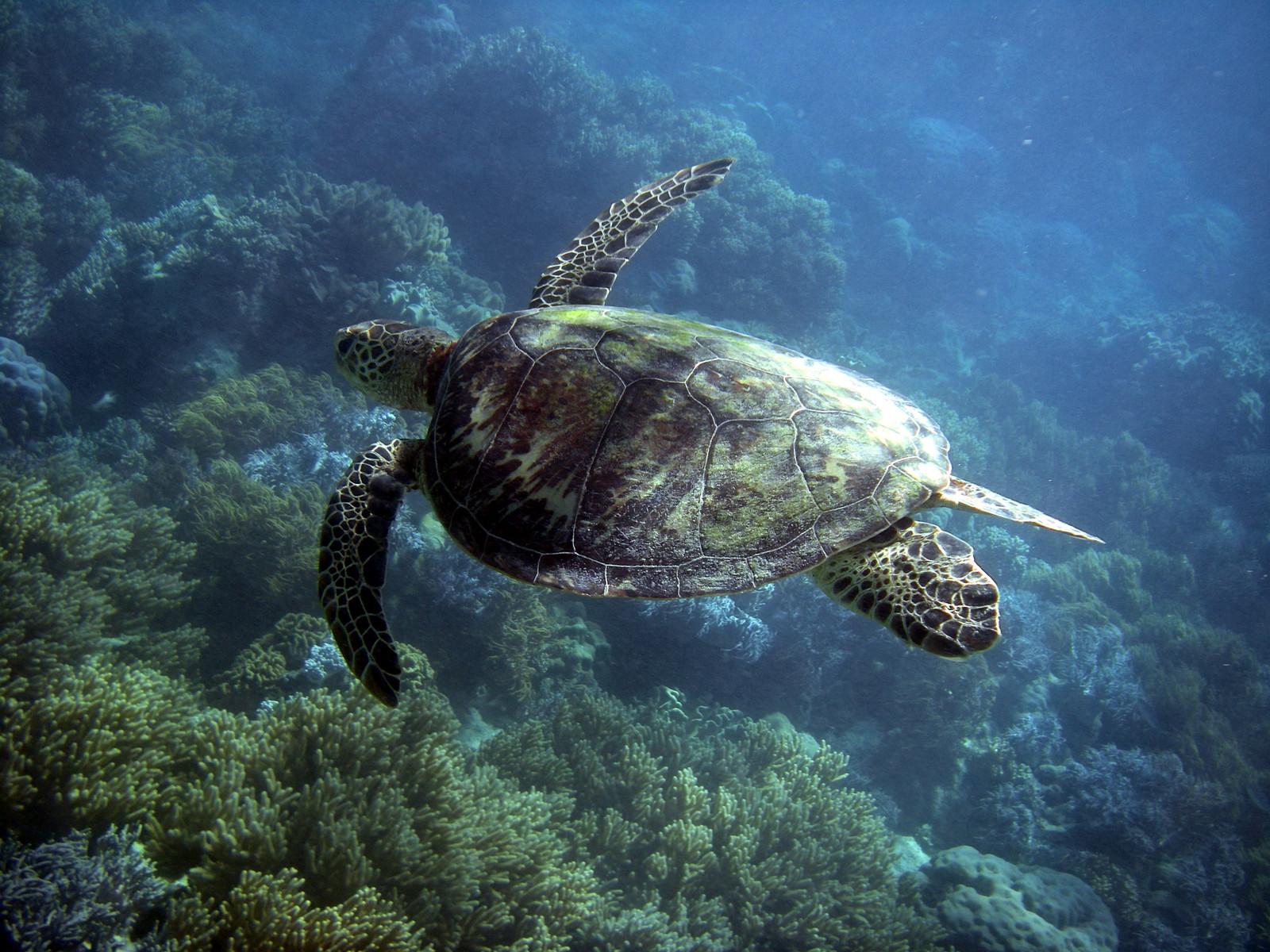Turtle, Great Barrier Reef, Australia