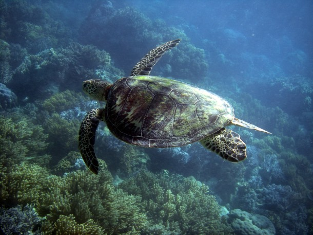 Turtle, Great Barrier Reef, Australia
