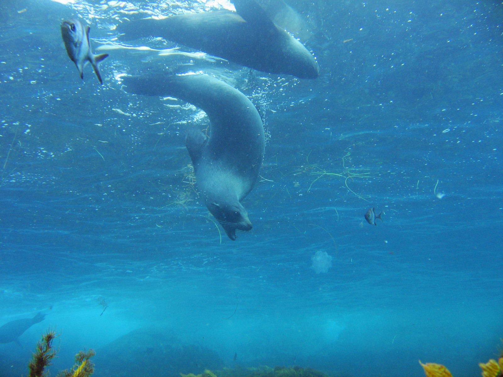 Seals, Australia